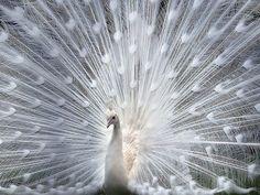 Hermosa foto de un pavo real blanco