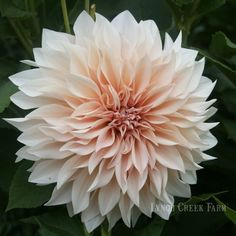 """Café Au Lait Dahlia (6-8"""" bloom; 4' bush): mocha and blush pink blend."""