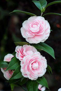 茶花 粉丹 Camellia Fendan01 by chenkuntsan, via Flickr