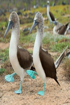 "rhamphotheca: "" Blue-footed Boobies in Trouble by Richard Kemeney Perfectly in step, this blue-footed booby (Sula nebouxii) couple on Santa Cruz Island in the Galápagos appear to be on the right track. Pretty Birds, Beautiful Birds, Animals Beautiful, Animals And Pets, Funny Animals, Cute Animals, Exotic Birds, Colorful Birds, Alcatraz Patiazul"