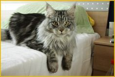 Maine Coon Cats Up For Adoption Explore our guide to cats, kittens and their habitats. Learn about over a hundred different cat breeds and how to deal with t Maine Coon Cats, Cat Breeds, Habitats, Kittens, Adoption, Pets, Animals, Dog Products, Personalized Necklace