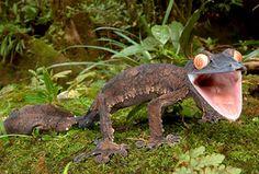 Gecko à queue feuillue