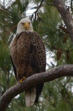 eagle in tree 6677 by jetskibrian
