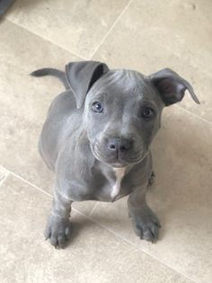 chunky beautiful 8 weeks old blue baby boy and girl for sale from a little of the only ones left because we was going to keep however want them to Pitbull Terrier, Grey Pitbull Puppies, Blue Staffy Puppy, Staffordshire Bull Terrier Puppies, American Staffordshire Terrier, Staffy Dog, Amstaff Puppy, Blue Pitbull, Cute Baby Dogs