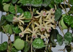 Hoya curtisii