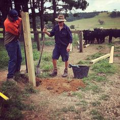 """""""The cows were more than happy to offer their advice today as the new fence was being constructed.  #farmlife #happycows#theloch #berrima…"""""""