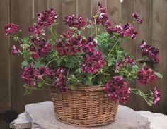 Ivy Geranium 'Bluebeard'  (Pelargonium peltatum)
