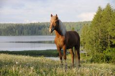 Horses in Finnish Mythology The head of the horse was made of stone, hooves out of rock and legs out of iron. Hevonen = Horse (in Finnish) Iku-Tihku = First . Pretty Horses, Beautiful Horses, Palomino, History Of Finland, Deadly Animals, All About Horses, Good Neighbor, Fluffy Animals, Wild Nature