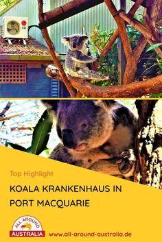 Zum Blogartikel über das Koala Krankenhaus - Klicke auf den Link. Dort erfährst du Insider Tipps zu der liebevollen Sehenswürdigkeit an der Ostküste von Australien! Dort kannst du Koalas hautnah erleben und erfährst eine Menge über sie. Ein fantastisches Highlight! #australien #australienreise #koala #roadtripaustralien #australienostküste #australienreise #mustseeaustralien #sehenswürdigkeitenaustralien Brisbane, Sydney, Port Macquarie, Roadtrip, Highlights, Australia, Bear, Link, Animals