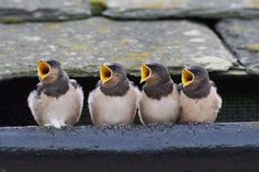 Northumberland, UK - Solent News/Rex/Shutterstock-baby swallows