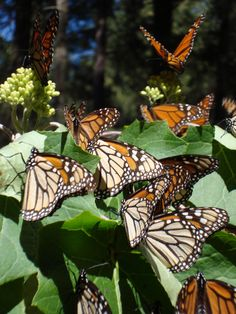 Morelia is known for the Monarch butterfly migration in  November, I believe it is, its such a beautiful sight to see!