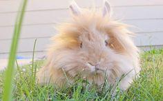 Orange lionhead