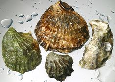 Oyster Shells Are an Antacid to the Oceans |  Decomposing oyster shells, made of calcium carbonate, act like an antacid pill…