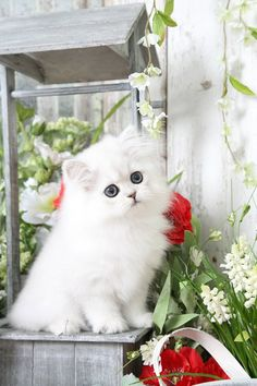 Cute Baby Cats, Cute Cat Gif, Baby Kittens, Cute Baby Animals, Kittens Cutest, Cats And Kittens, Persian Cat Doll Face, Himalayan Persian Cats, Persian Kittens For Sale