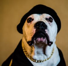 My dog representing the hood ;) Min lilla Ghettohund.