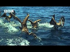 pelicans hunting sardines (an earthflight simulation made for the bbc)