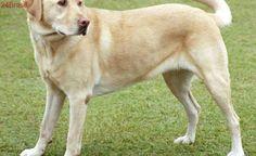 Cães da raça Labrador serão doados na Grande Vitória e em Alegre