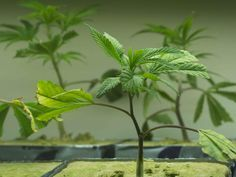 Here's How You Do Successful Marijuana Cloning