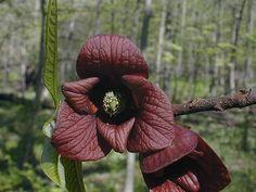 Pawpaw, Asimina triloba #flowers