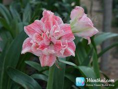 Amaryllis First Love, beautiful double flower Amaryllis from Hadeco