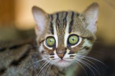 With big golden eyes and striped fur, this Rusty-spotted Cat looks like your average house cat. But there's nothing average about Jaipur and Rashna, two female Rusty-spotted cats who were born at France's Parc des Félins on April 24.
