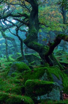 These trees grow out of rocks in a Celtic forest near Blarney Castle, Ireland,