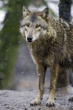 Standing calm wolf - Tambako The Jaguar