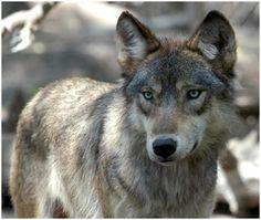 Imagen de http://www.lobopedia.es/wp-content/uploads/2012/12/perro-lobo.jpg.