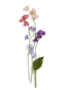 Want to get some form of the sweet pea flower (flower of April, my birth month) as a tattoo on my calf