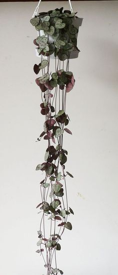 CEROPEGIA-WOODII-String-of-Hearts Tuber beads are small beads which form on stem at the leaf bases. Can be planted to produce new vines. Press the tuber into the soil, & keep it moist (not wet), plant the bead while it is still attached to the mother plant, for speedier rooting. Once rooted & growing, sever from the main plant. #houseplantslowlight
