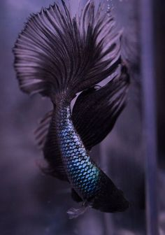 Some interesting betta fish facts. Betta fish are small fresh water fish that are part of the Osphronemidae family. Betta fish come in about 65 species too! Pretty Fish, Beautiful Fish, Beautiful Men, Beautiful Creatures, Animals Beautiful, Cute Animals, Poisson Combatant, Fauna Marina, Carpe Koi