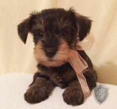 Schnorkie Schnauzer Mix, Schnauzers, Cute Puppies, Dogs And Puppies, Cutest Animals, Pretty Photos, Yorkies, Dog Stuff, Dog Love