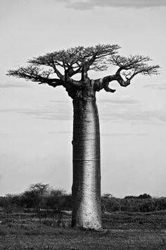 Africa |Baobab tree✖️More Pins Like This One At FOSTERGINGER @ Pinterest✖️