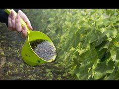Полила этим огурцы, прут и прут куда девать их столько. Подкормка огурцов. - YouTube Veg Garden, Diet And Nutrition, Photoshop, Green, Vegetable Garden, Sodas, Plants, Health