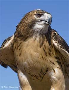 Red-tailed Hawk by Ohio-Nature* Ohio Birds, All Birds, Birds Of Prey, Love Birds, Beautiful Birds, Hawk Bird, Red Tailed Hawk, Animal Totems, Birds Eye View