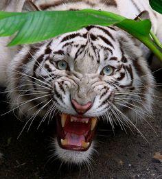 Indira, a white Bengal tiger