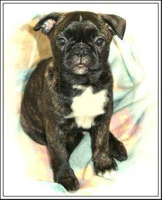 Bug puppy- Boston terrier- pug mix