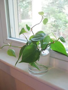 Growing more house plants from cuttings (so cheap & easy!)
