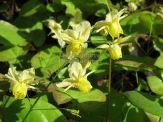 Výška:  30 cm, půdopokryvná  Květ:  žlutý, IV. - V. Málo známá trvalka pocházející z ...