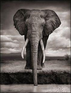 Nick Brandt photographie les animaux africains, l'esthétisme contre la barbarie