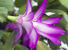 Como cuidar de flor de maio