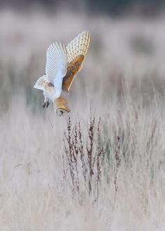 Barn Owl//