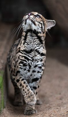 Something very interesting is up there. Margay cat of Costa Rico. Big Cats, Cool Cats, Cats And Kittens, Beautiful Cats, Animals Beautiful, Cute Animals, Cute Creatures, Beautiful Creatures, Margay Cat