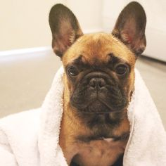 Bath time isn't that bad when it includes a bellyrub, deep tissue massage and getting a good old scratch behind my ears  #berthafrenchie #puppy #instagood #dogs_of_instagram #pets #petsagram #photooftheday #dogsofinstagram #instagramdogs #dogstagram #dogoftheday #lovedogs #doglover #instadog #frenchies #french_bulldogs #frenchiesofinstagram #french_bulldogs #bulldog #theworldofbullies #loveabully #citydogliving #dogsofinstagram #myfavefrenchie #frenchie