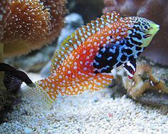 A pair of juvenile Peacock Wrasse (Macropharyngodon bipartitus) Saltwater Aquarium Fish, Saltwater Tank, Marine Tank, Marine Fish, Underwater Creatures, Ocean Creatures, Colorful Fish, Tropical Fish, Orcas