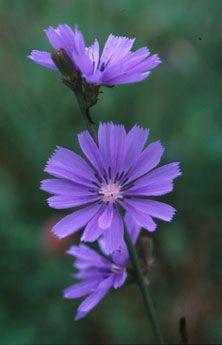 chickory, my favorite flower (Heidi)