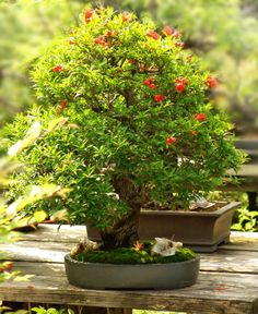 Dwarf Pomegranate. Punica granatum nana. Zones 7-10. Small dense shrub. Part sun. Bright orange, crepe-like blooms from spring to fall. Bears fruit freely. Attracts bees. Mine has been growing right outside of my kitchen window for about 10 years & is 4' tall. First fruits appeared in its 9th year♥