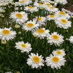 Leucanthemum ` Sunny Side Up`   (Tuinmargriet)