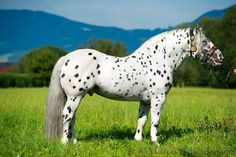 Noriker stallion, Piano Elmar