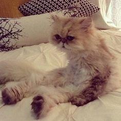 Shelby, persian cat